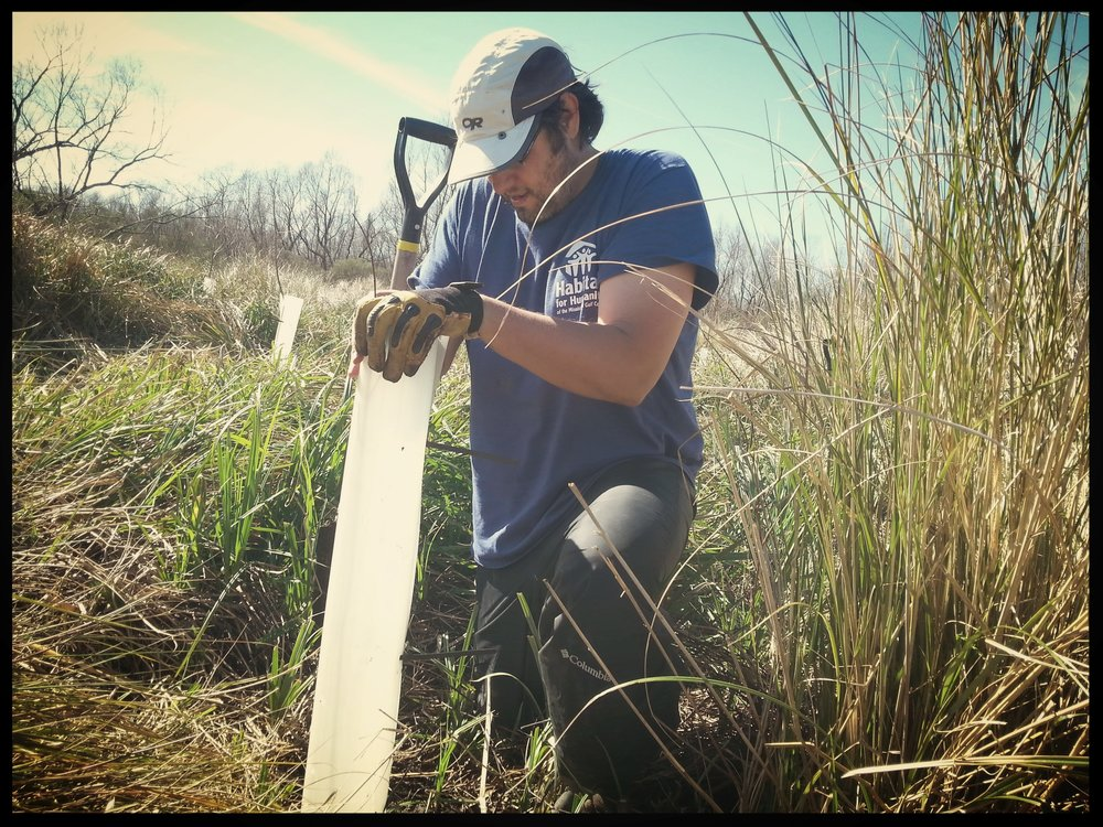 Putting protection around the trees to protect from nutria, an invasive species.