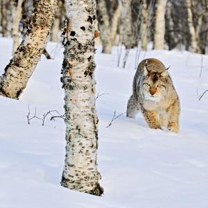 Lynx2-300x300.jpg