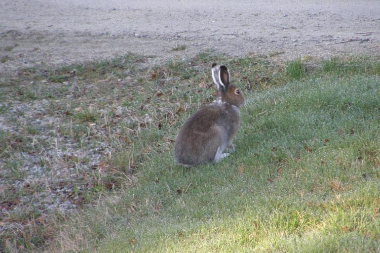 Hare01.jpg