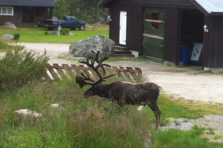 Reindeer03.jpg