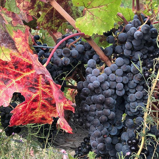 This merlot will be picked this week. Come out from 11-5 to taste our wines in the tasting room and watch the harvest process. #merlot #harvest
