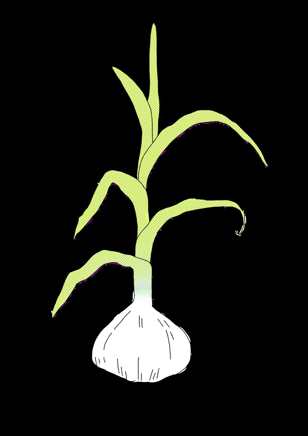 garlicwhite.png