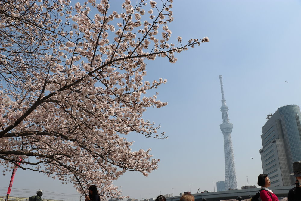 Top 10 Cherry Blossom Tokyo Spots sumida park