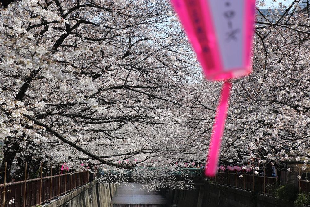 Top 10 Cherry Blossom Tokyo Spots meguro river