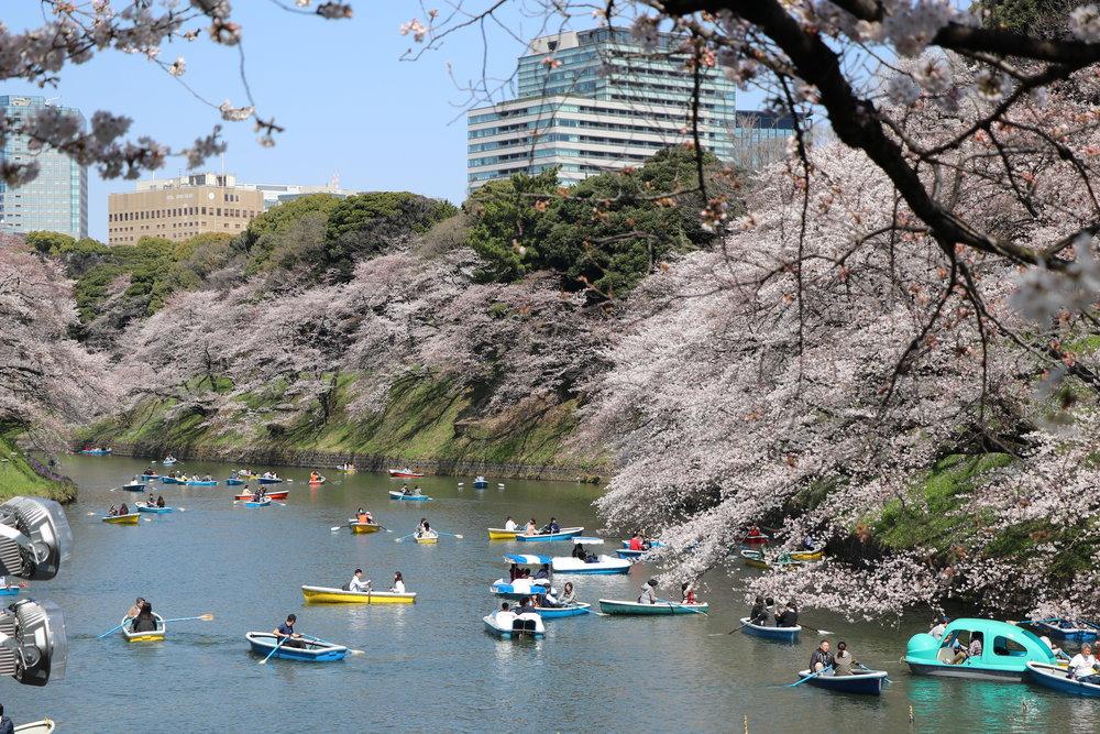 Top 10 Cherry Blossom Tokyo Spots