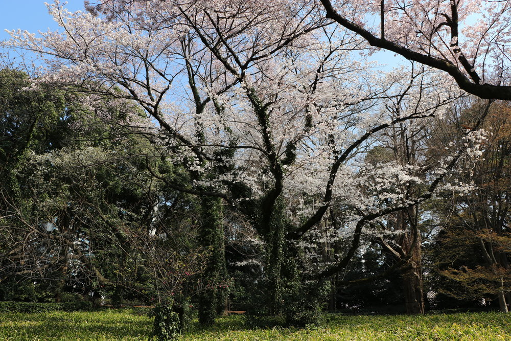 top 10 cherry blossom in tokyo imperial palace