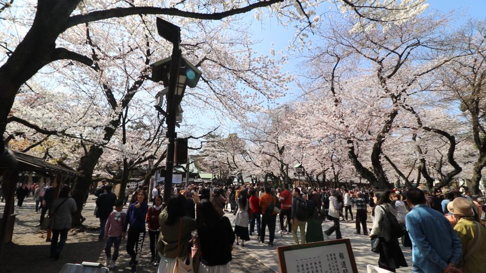 top 10 cherry blossom in tokyo yasukuni