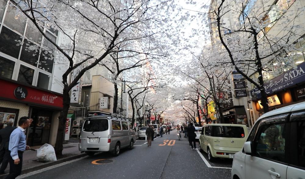 top 10 cherry blossom tokyo yaesu sakura dori