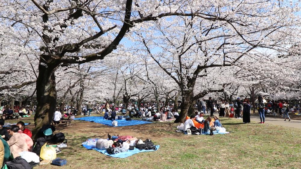 top 10 cherry blossom yoyogi hanami