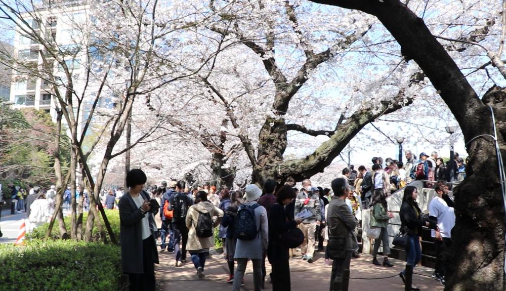 top 10 cherry blossom chidorigafuchi