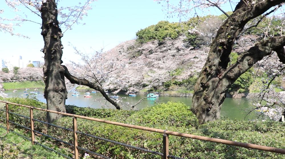 top 10 cherry blossom