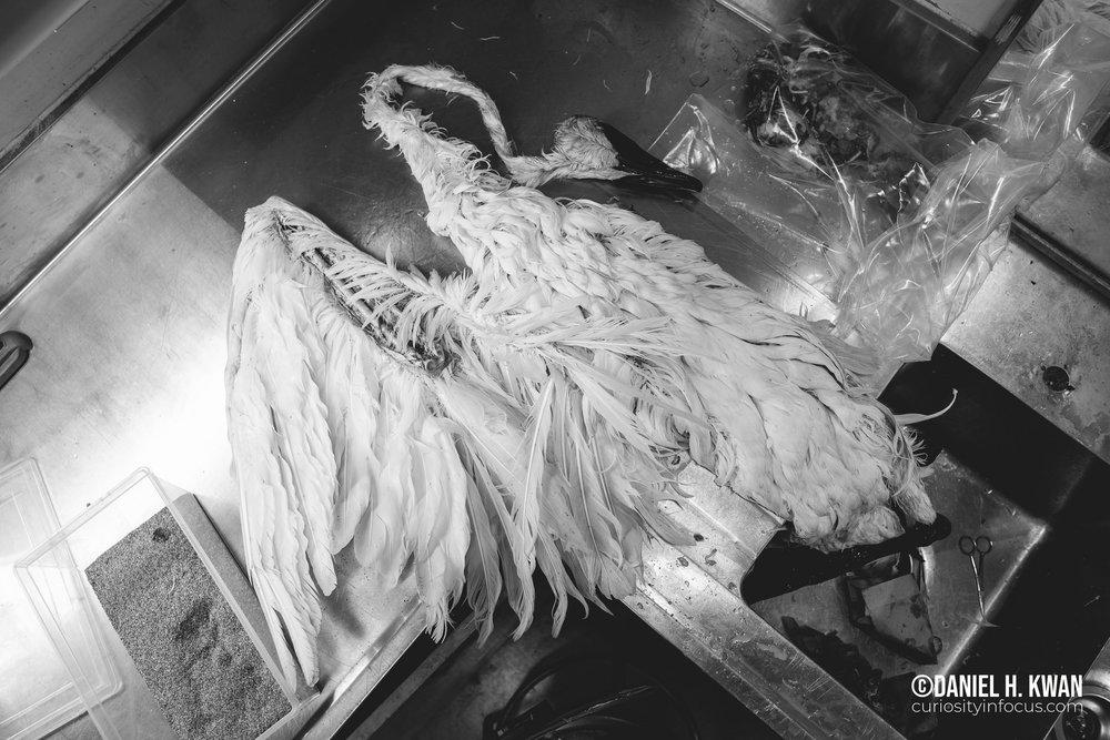 Trumpeter Swan Skin