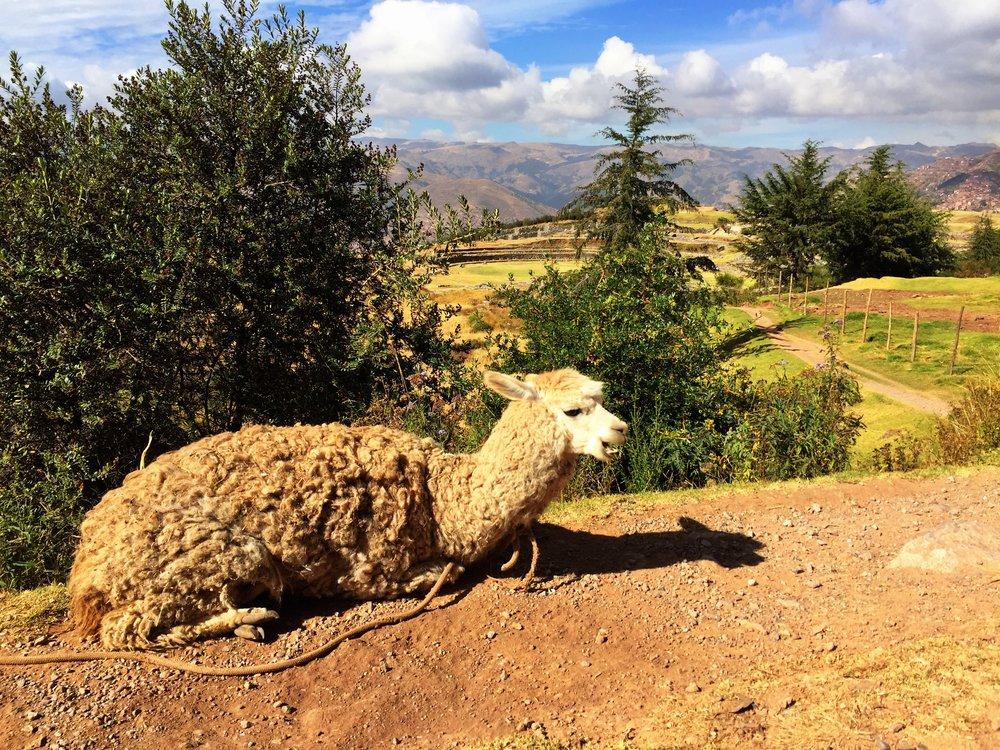 Llama views