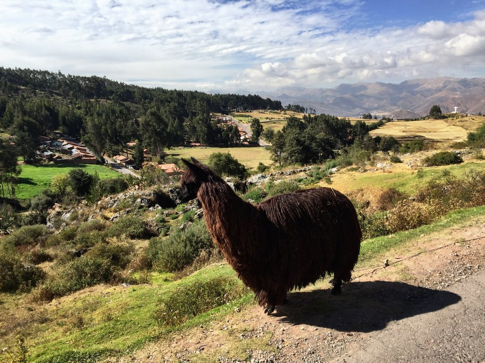Rasta Llama on path