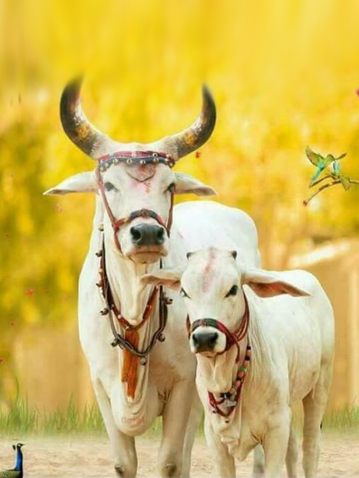 sacred-cows-home.jpg