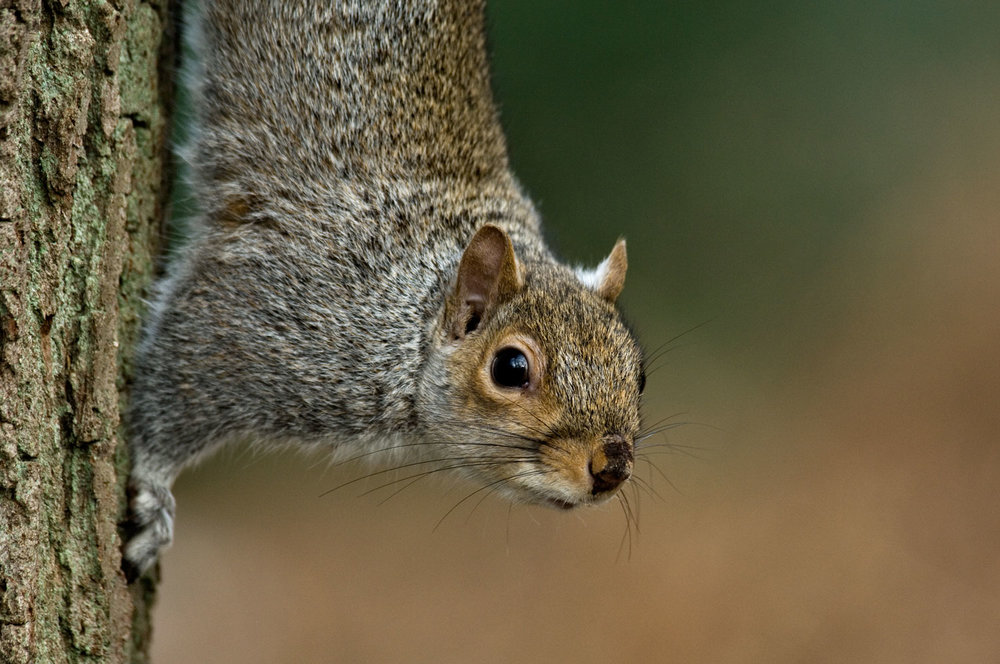 Grey-Squirrel-01-1500.jpg