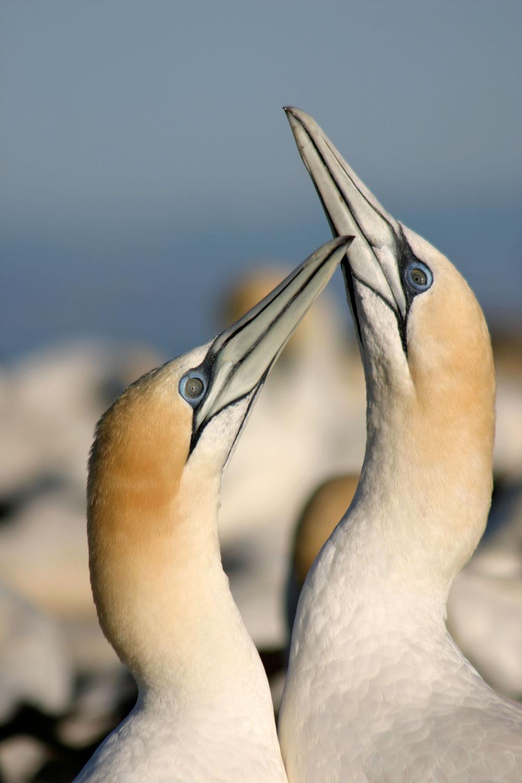 Australasian-Gannets-01-1500.jpg