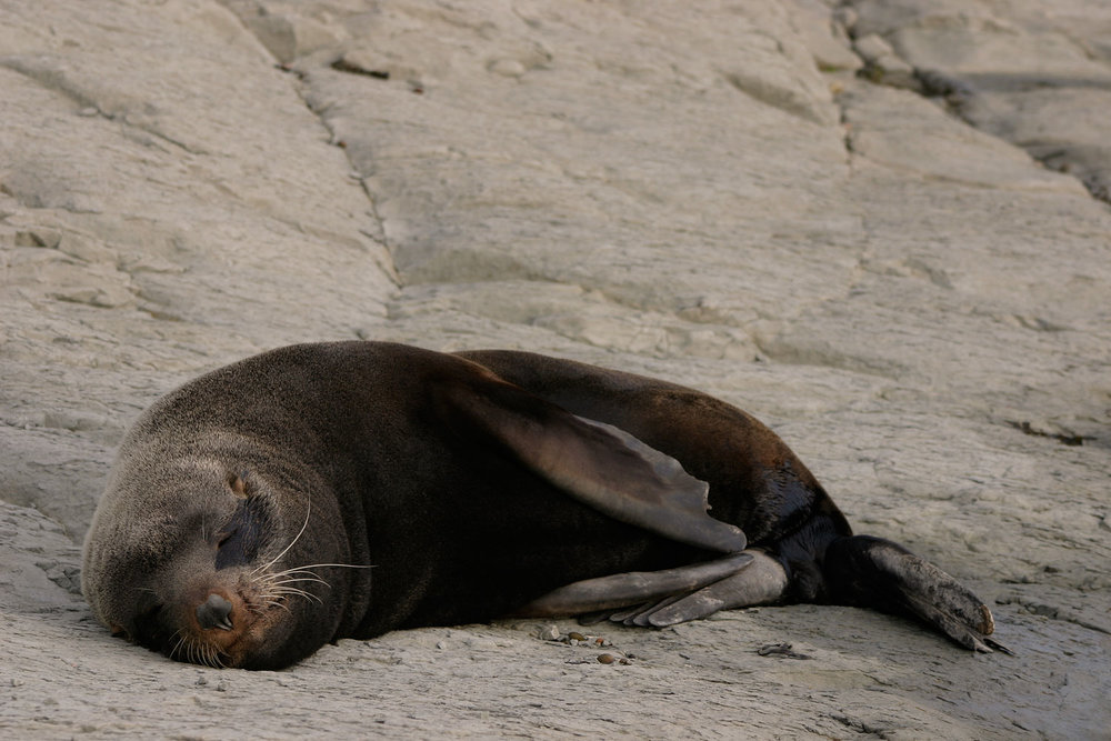 Fur-Seal-Sleeping-01-1500.jpg