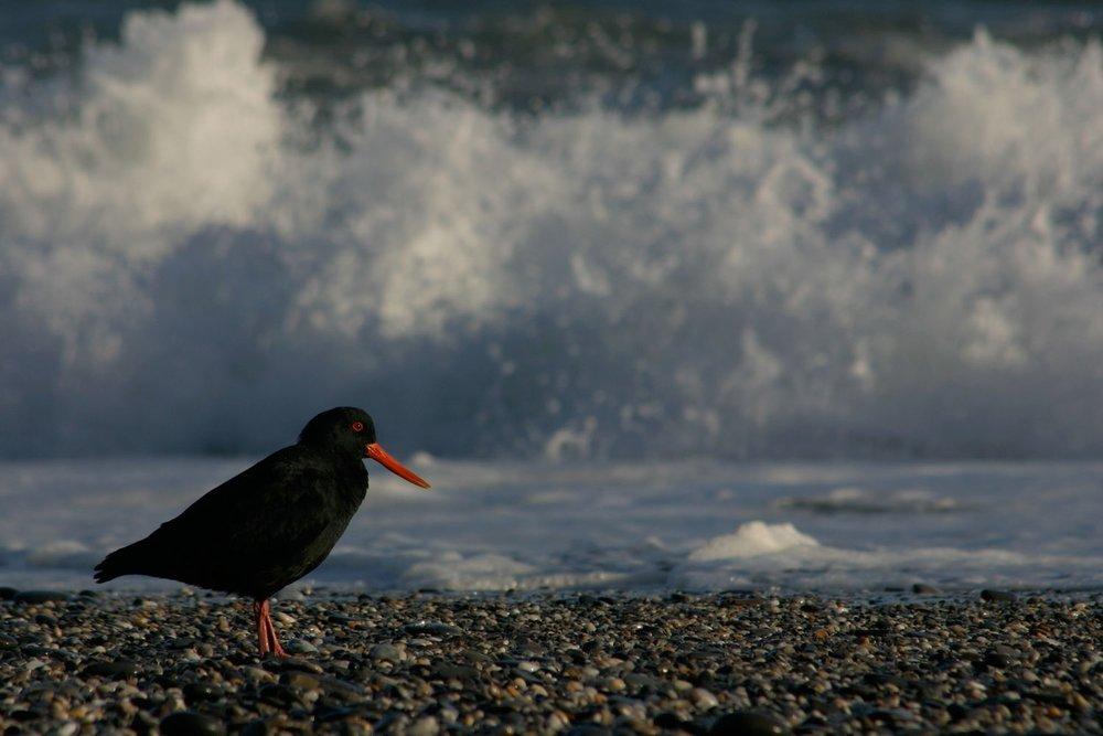 Variable-Oystercatcher-03-1500.jpg