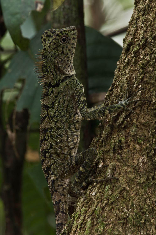 Bornean-AH-Lizard-01-1500.jpg