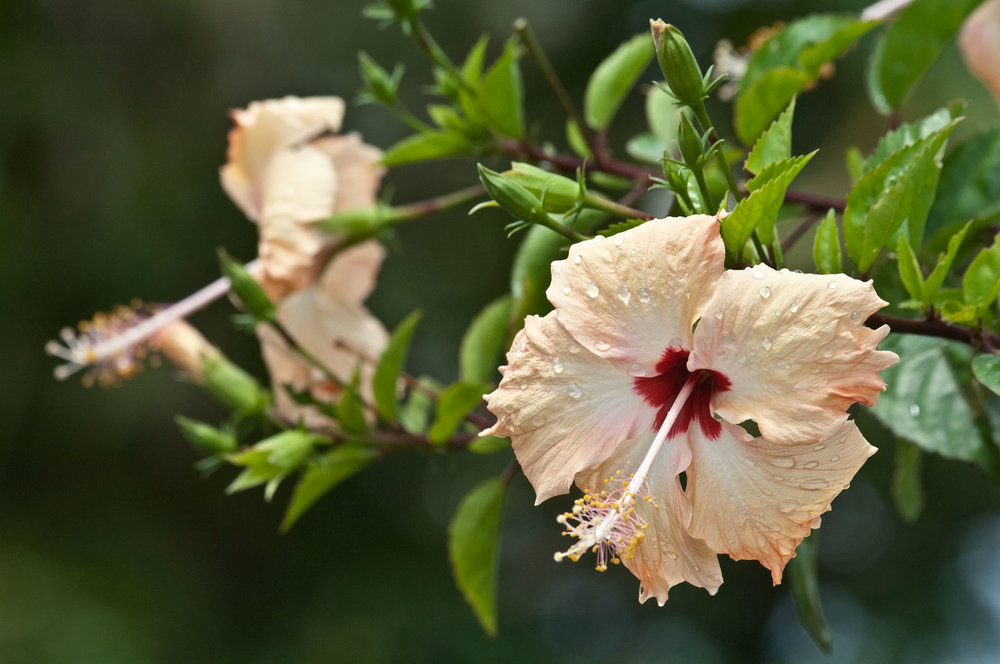 Hibiscus-01-1500.jpg