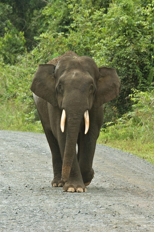 Jungle-Elephant-01-1500.jpg