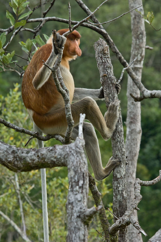 Proboscis-Monkey-01-1500.jpg