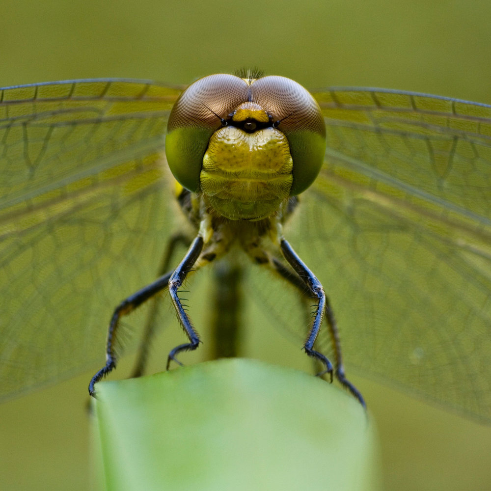 Common-Darter-05-1500-Square.jpg