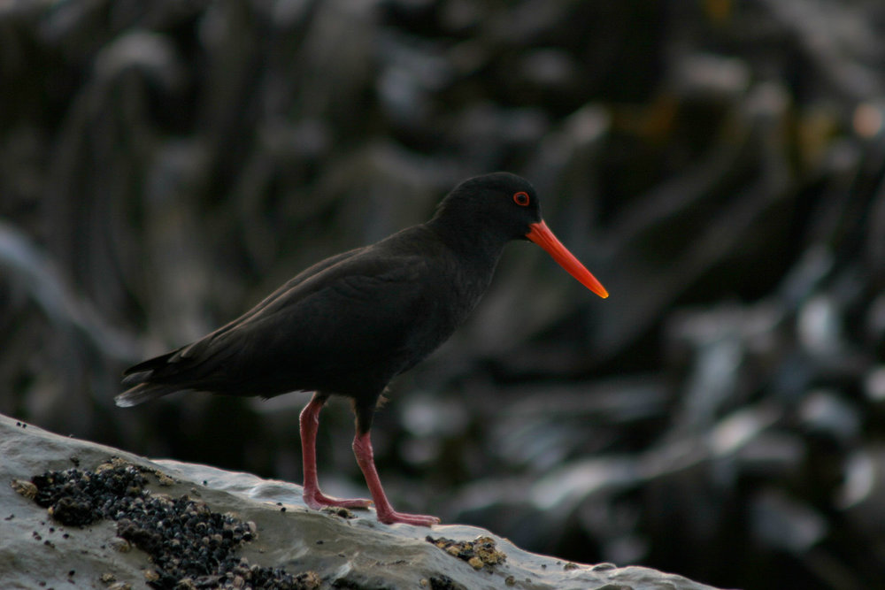 Variable-Oystercatcher-02-1500.jpg