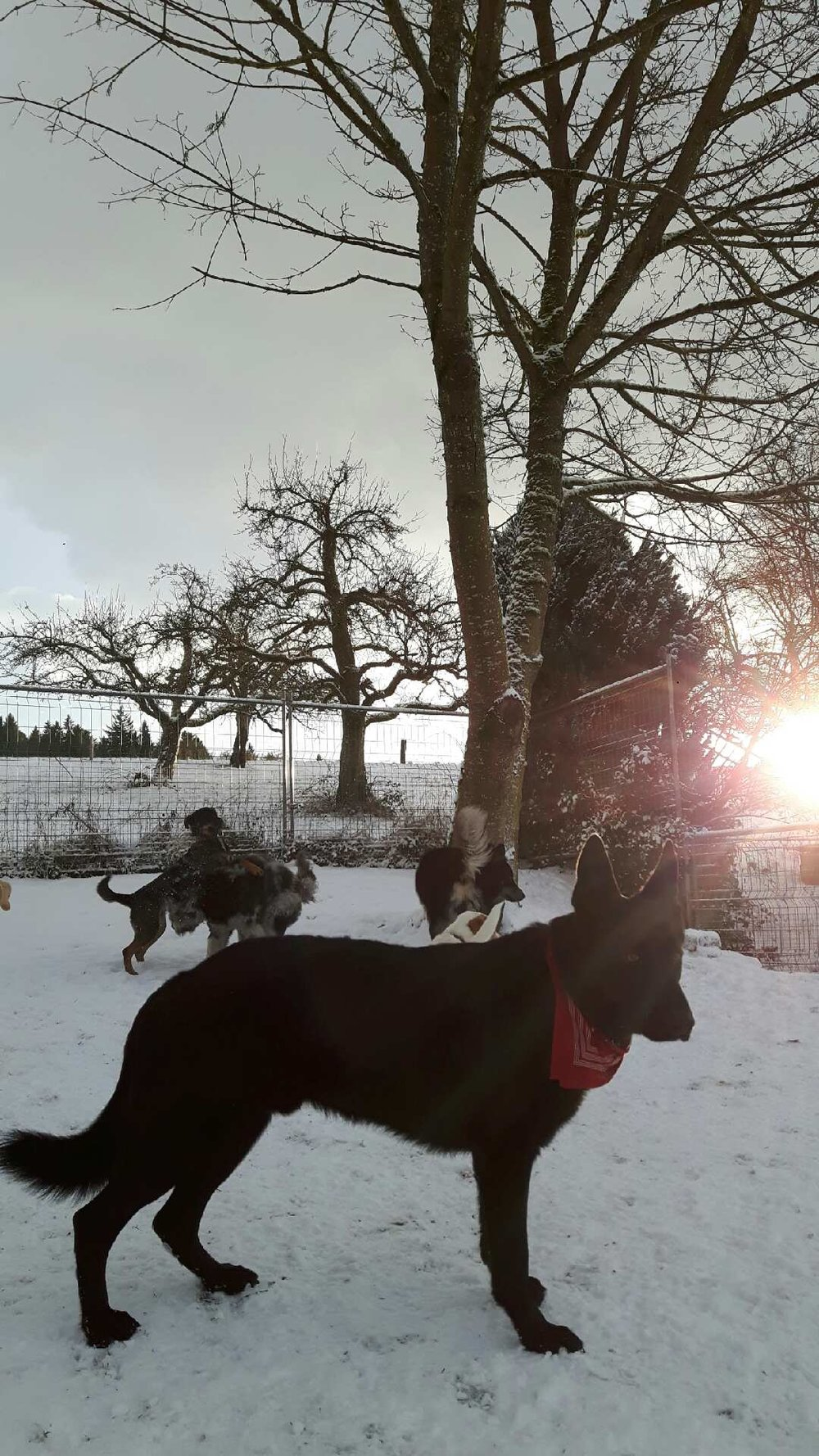 Before Sunset: Auch Hunde wissen, magische Momente im Schnee zu geniessen. Gestern Abend hat sich das Rudel im Höfli beim Sonnenuntergang äusserst wohl gefühlt. Ein herrliches Bild mit Jack im Vordergrund.