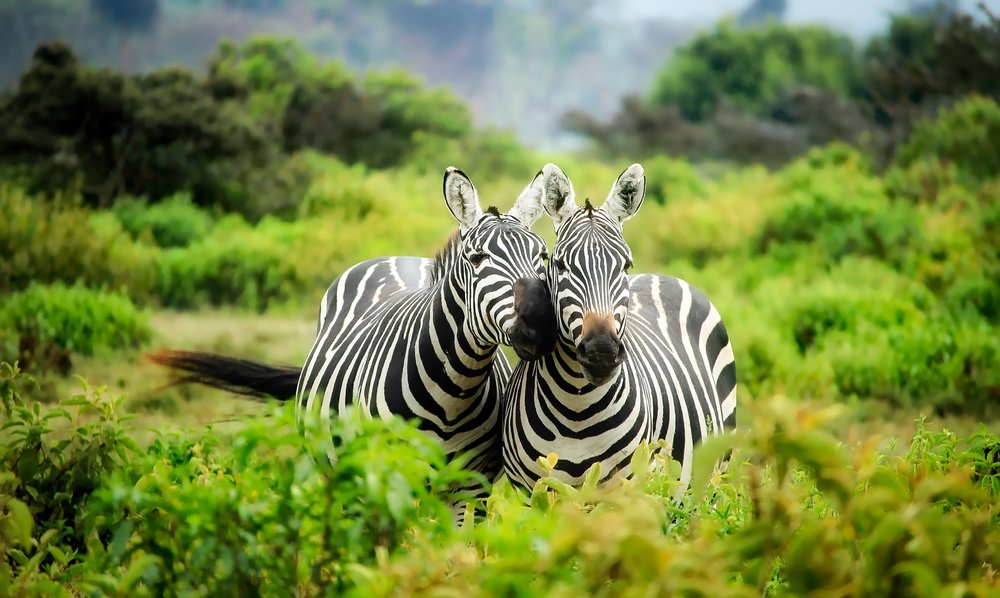 Zebras in Kenya - (Safari)