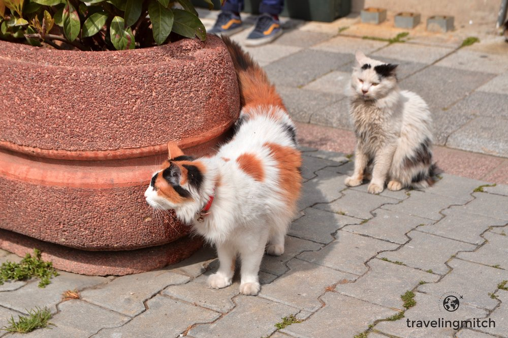 A classic example of the famous street cats in Istanbul, Turkey
