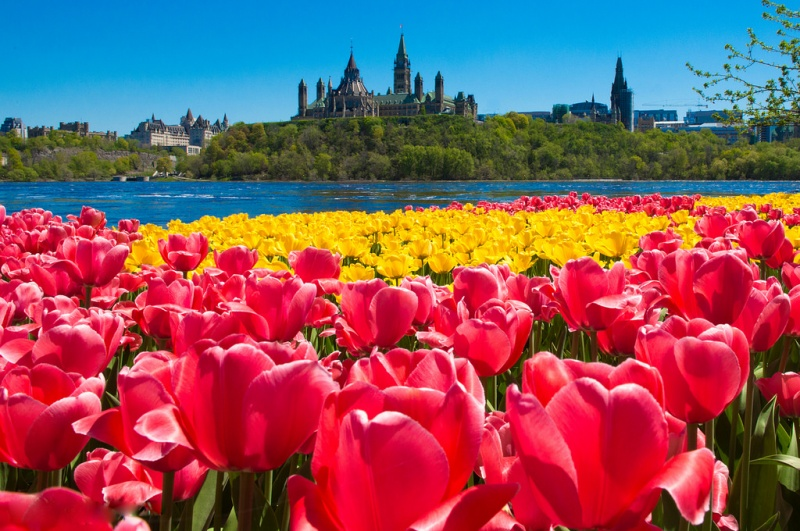 Yellow and red tulips with Parliament Hill in the distance. Neil Robertson ©