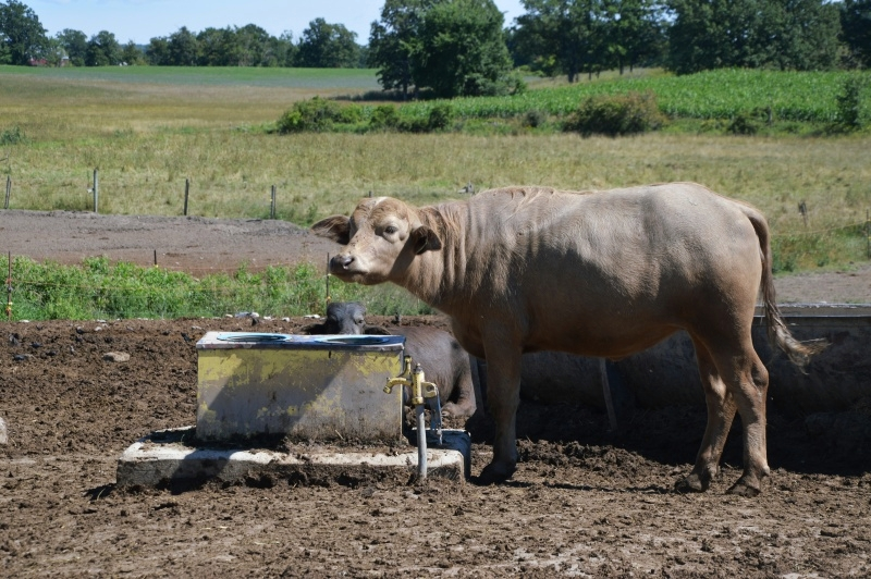 Ontario's Highlands - Ontario Water Buffalo Company