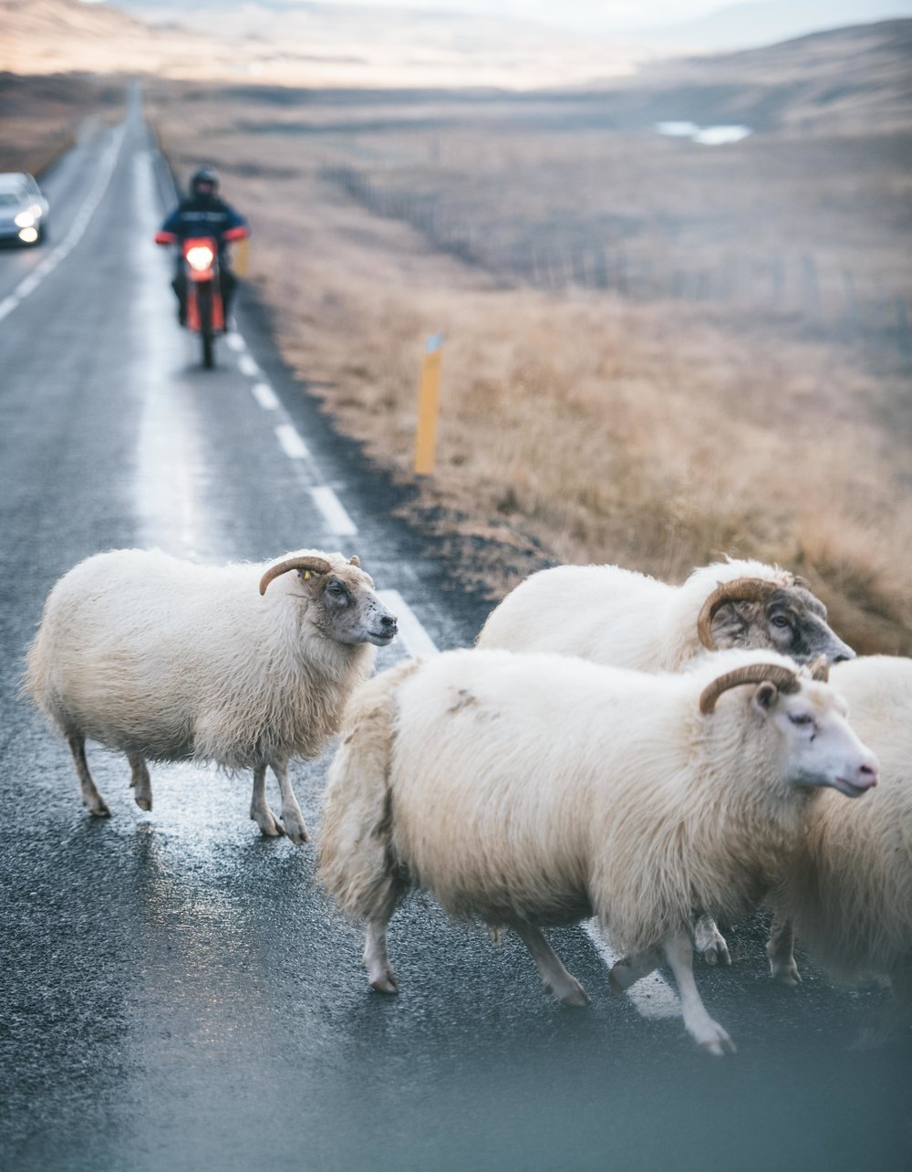 Iceland sheep herding (1 of 1).jpg