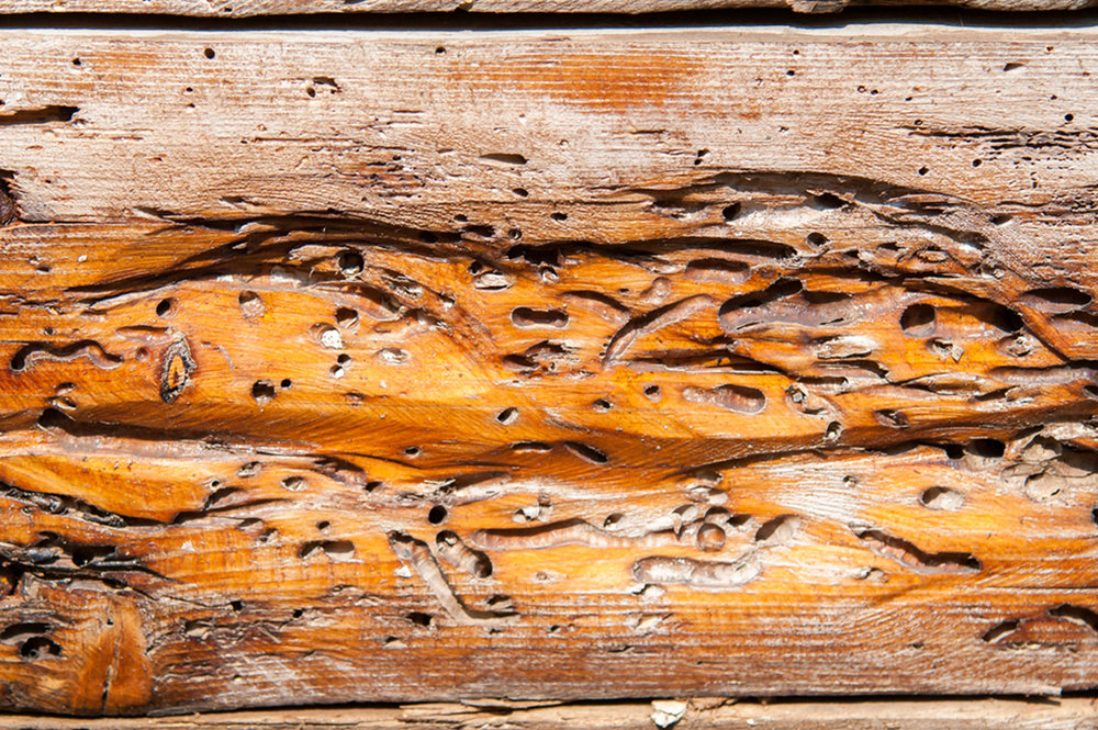 woodworm.jpg