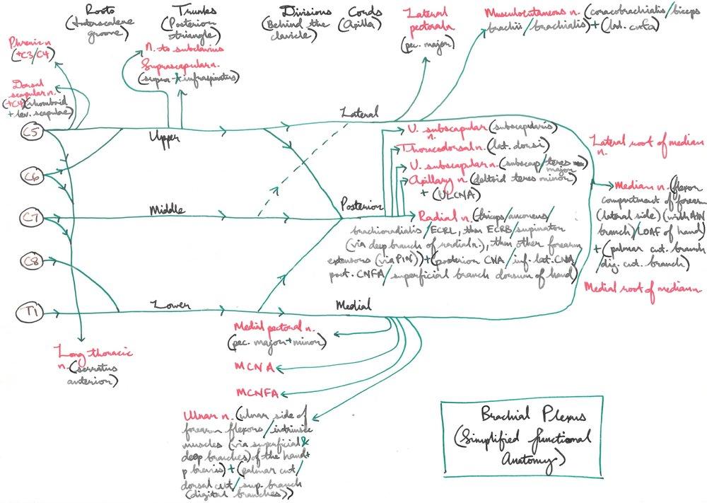 Brachial Plexus Simplified Functional Anatomy — ANAKAYUB\'s Notes