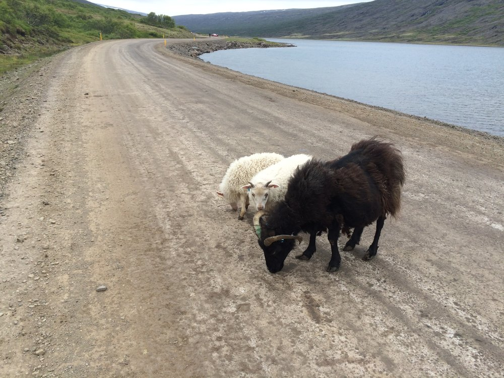 This is what Iceland's main highway looks like! Or maybe I was lost. Either way, sheep!