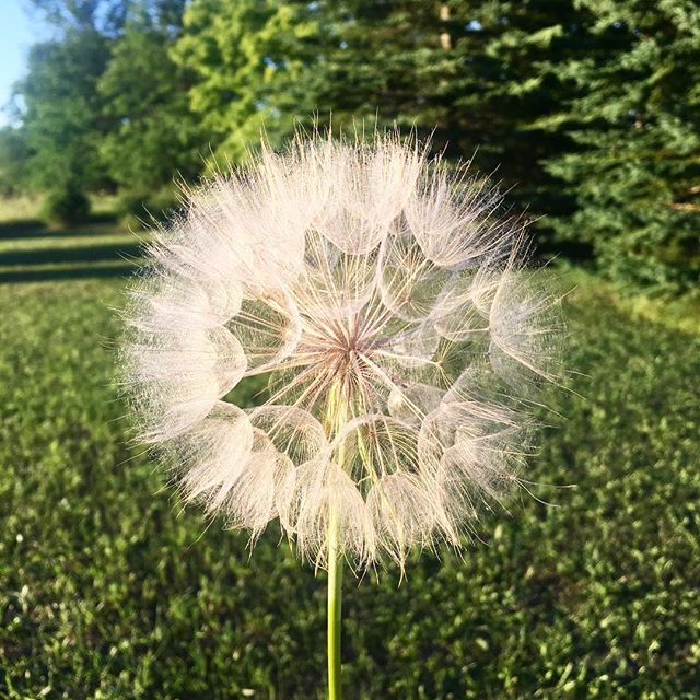 Saved the biggest wish for the biggest dandelion! . . . . . . #awesome #abmtravelbug #beautifulworld #cool #darlingmovement #doorcounty #exploretheworld #fun #flowers #green #goexplore #helloworld #igers #instagood #keepitwild #love #livethelittlethings #nature #nothingisordinary #photooftheday #roamtheplanet #summer #travel #wish #wisconsin #travelblogger