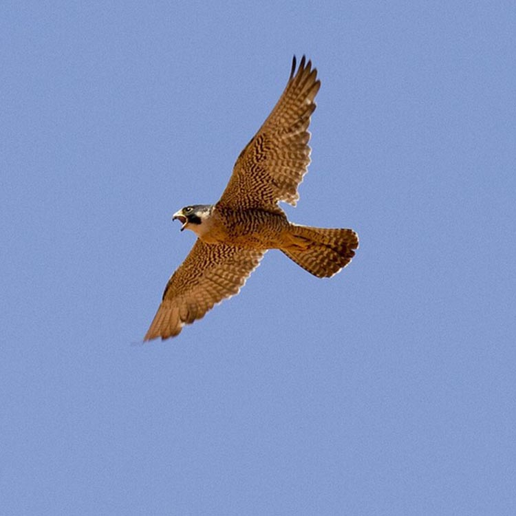Peregrine falcon, ipswich, waterfront