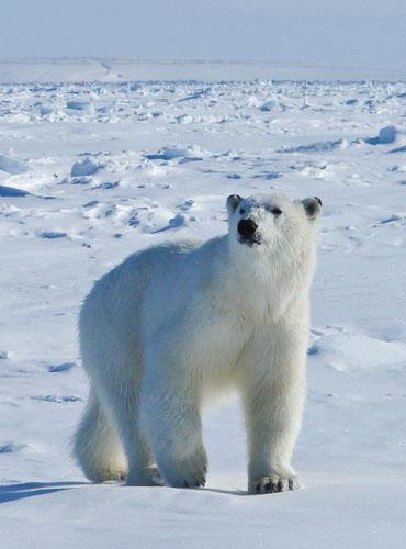 Bertie The Polar Bear
