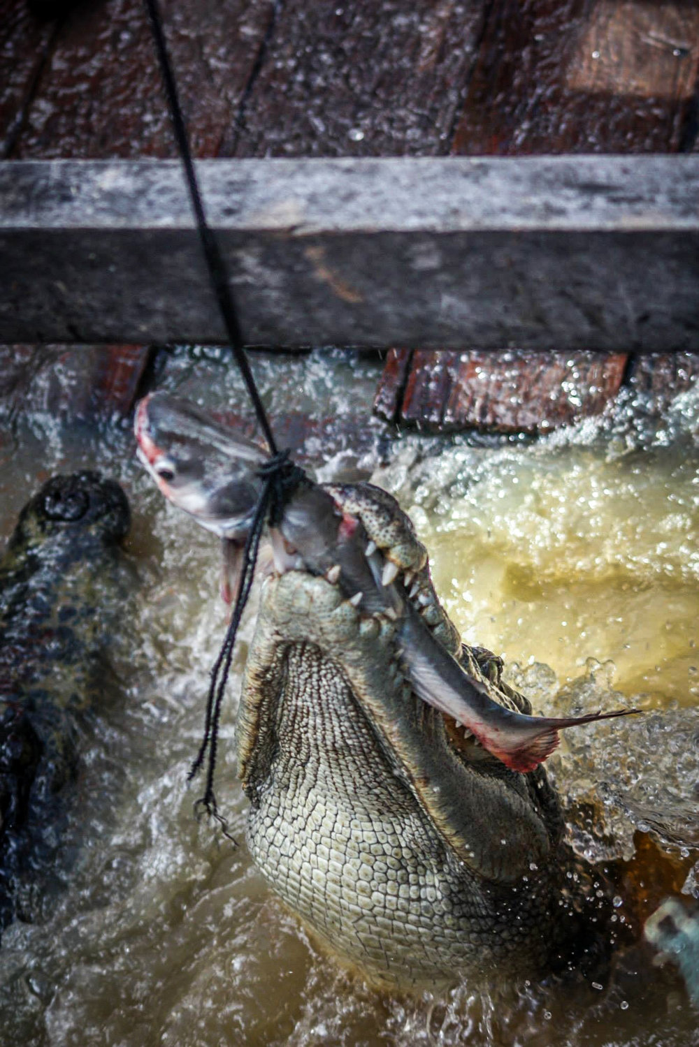 A crocodile snatches a fish dangled by a tourist at a popular attraction located on one of the floating villages in the northern provinces surrounding Siem Reap.