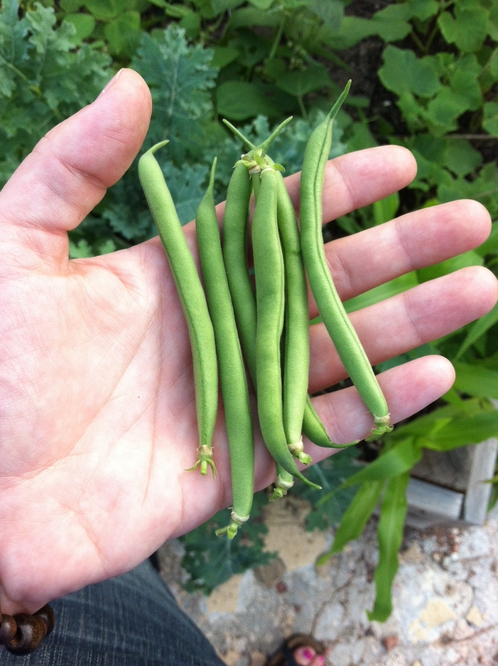 First picking of green beans!