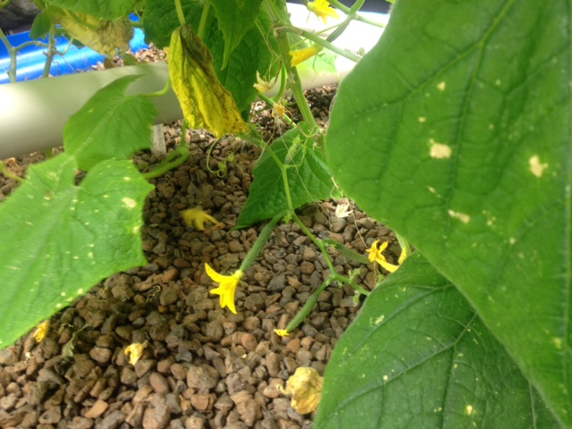 Cucumbers growing in the media beds, fed by the worms