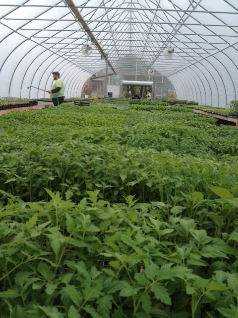 Tomatoes in the Hoophouse
