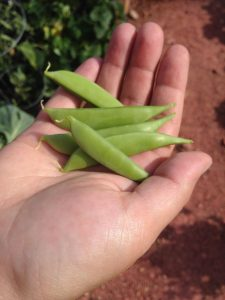 Sugar snap peas are a snap to grow, and great treat in your spring garden.