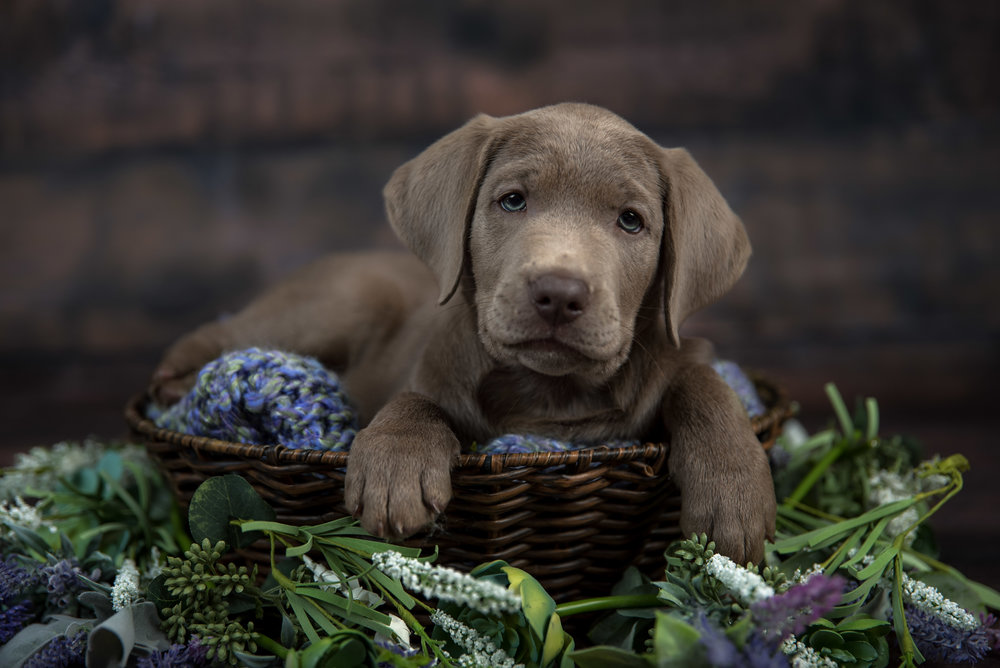 Pet photography silver lab in basket with flowers puppy newborn in studio