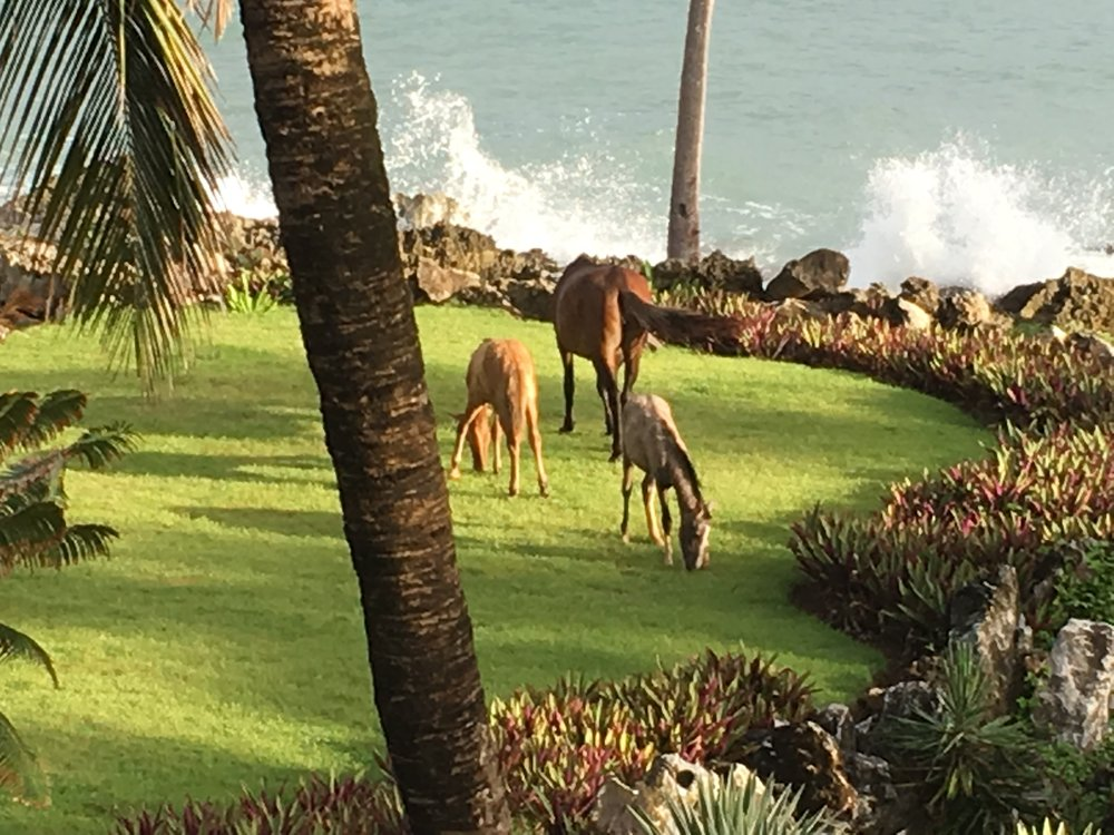 Lots of mornings in Las Galeras Dominican Republic we woke to find horses (as many as 7 at a time) enjoying breakfast in our yard!
