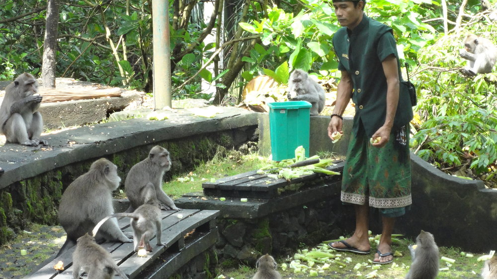 When the monkey handlers give a loud whoop, the monkeys know its feeding time. The trees all around begin to shake and these little guys seem to come running from everywhere.