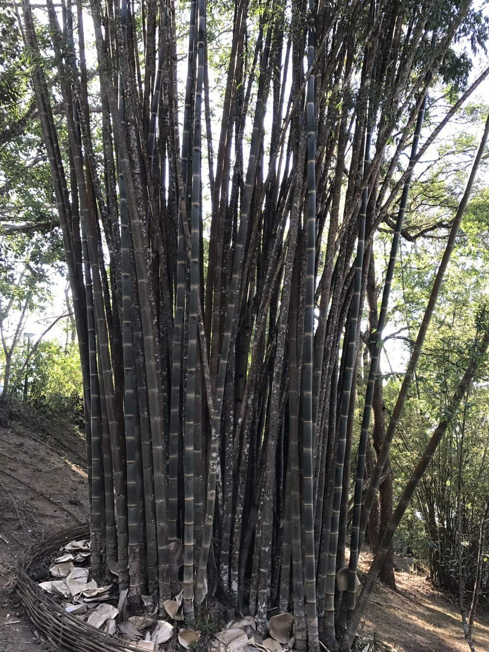 Last picture in the Bhubing Palace gardens - giant bamboo!